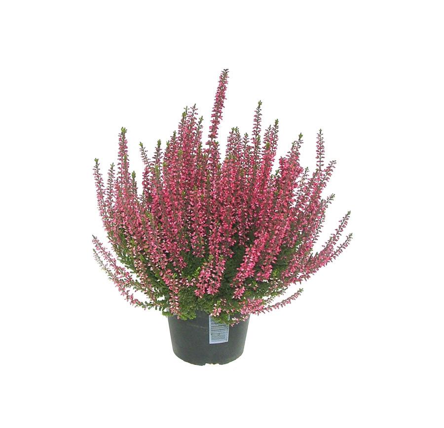 Calluna Losi Flores