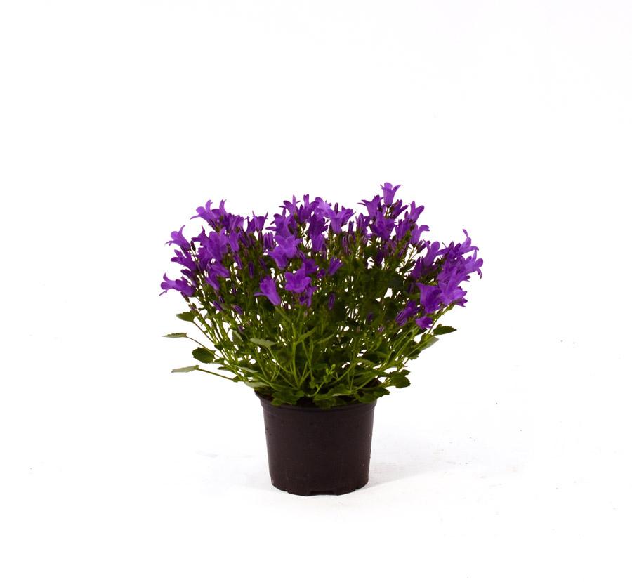 Campanula Losi Flores