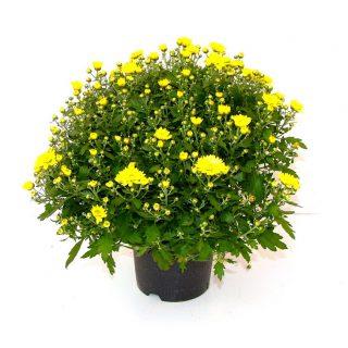Crisantemo Coreano